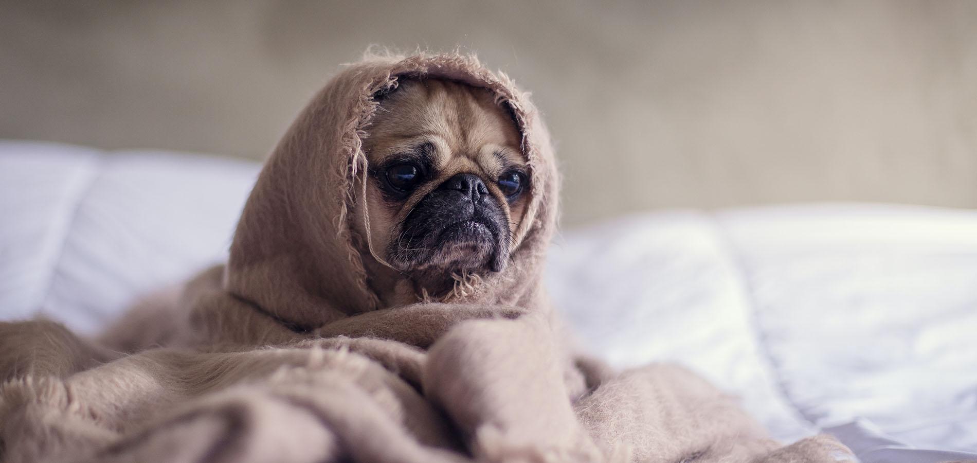 Knuffliger Hund eingewickelt in einer Bettdecke - ob er wohl Stress hat